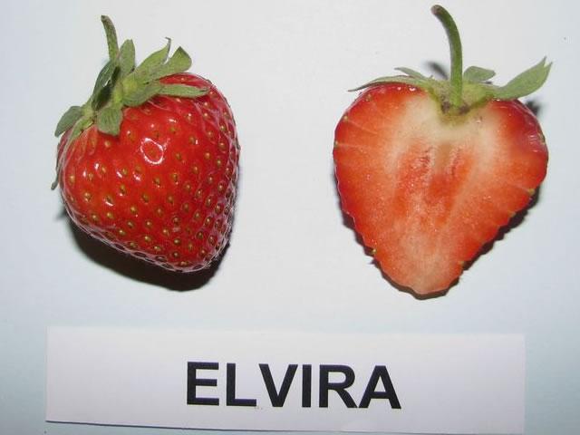 Ягода Эльвиры в разрезе