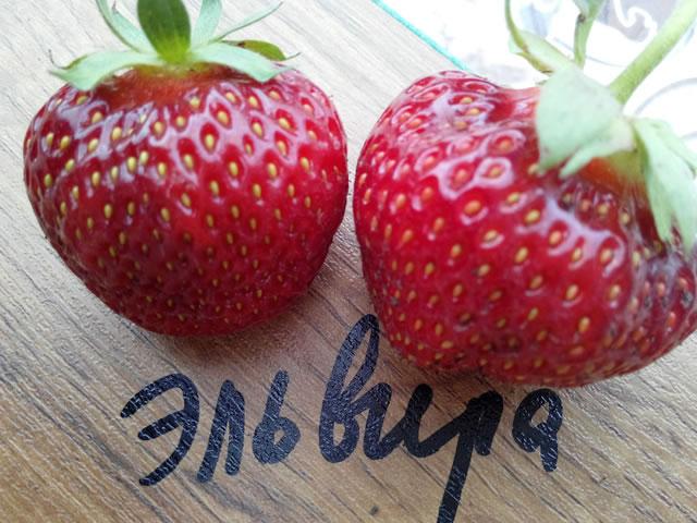 Плоды садовой земляники Эльвира