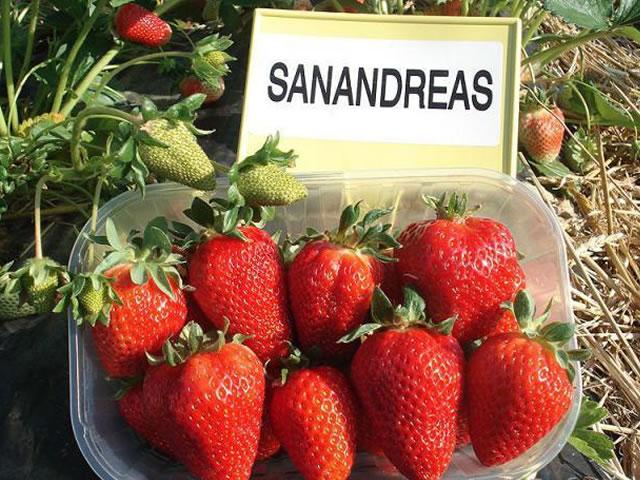 Ягоды садовой земляники Сан Андреас