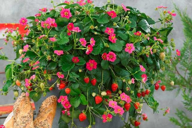 Цветущий куст садовой земляники Тоскана