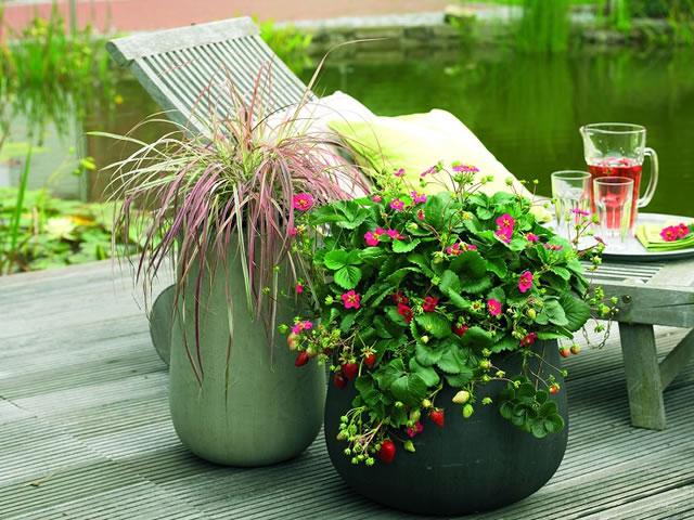 Садовая земляника Тоскана в ландшафтном дизайне