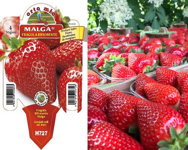 Семена и урожай клубники Мальга