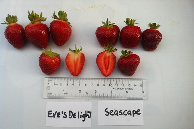 Плоды клубники Эвис делайт