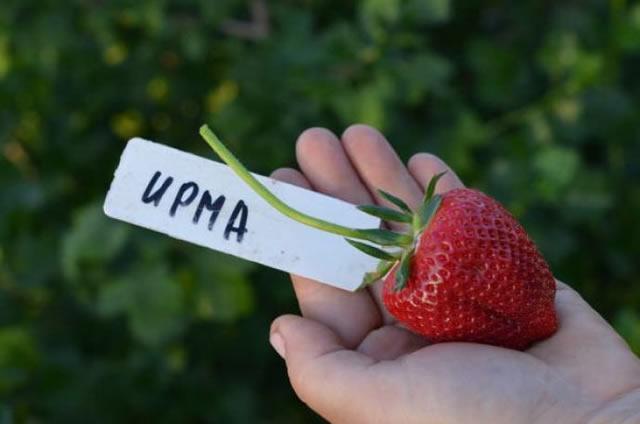 Крупная ягода клубники сорт Ирма
