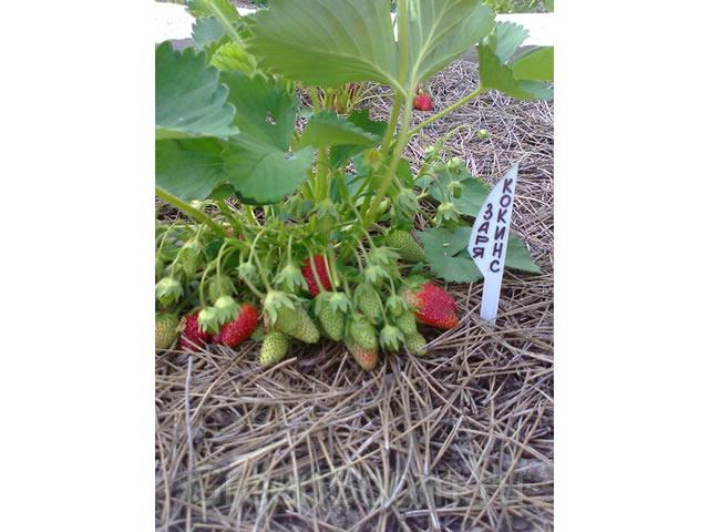 Плодоносящий куст садовой земляники Кокинская заря