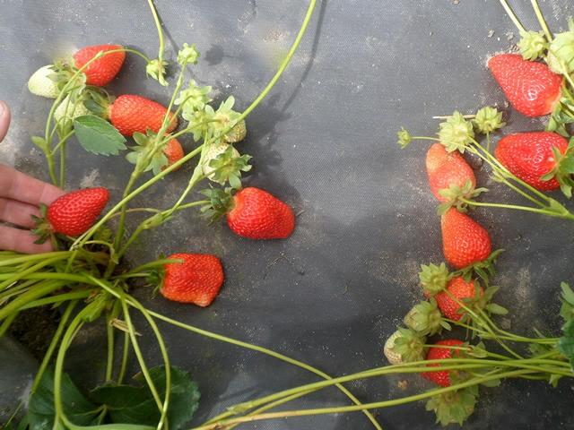Плодоносящие кусты клубники сорт Линоса