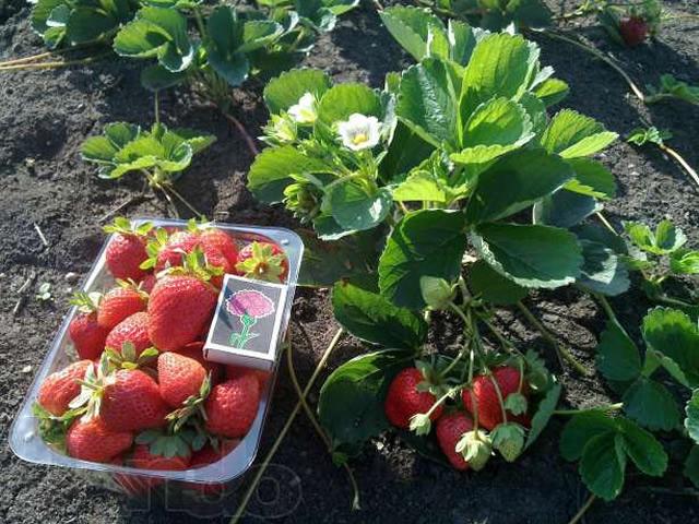 Куст и ягоды клубники Линоса