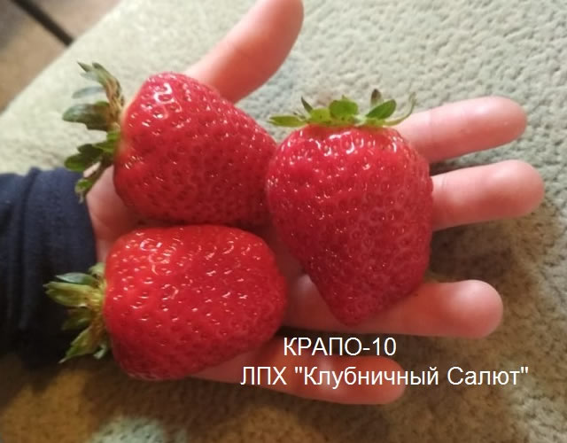 Крупные плоды клубники Крапо 10