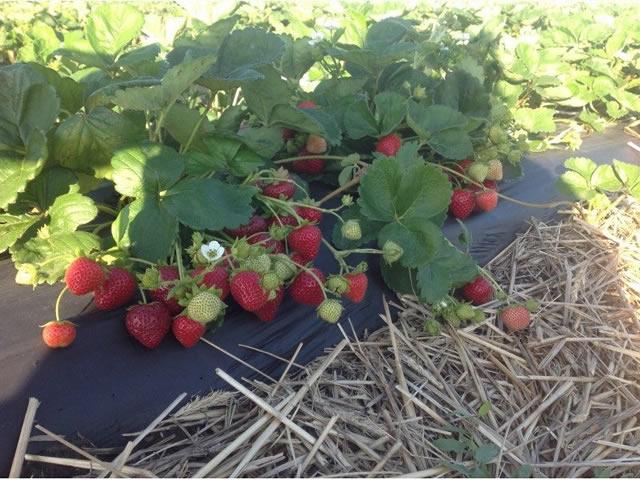 Плодоносящие кусты садовой земляники Спаржи
