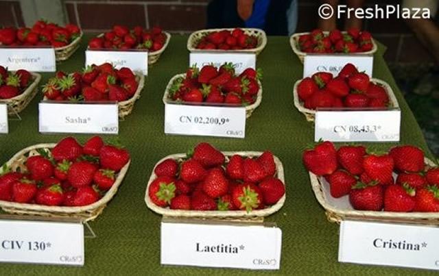 Ягоды садовой земляники Летиция в сравнении с другими сортами